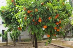 Apfelsinenbaum-II